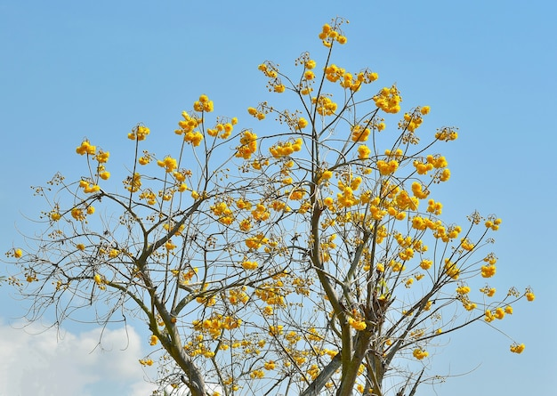 Bawełna żółty