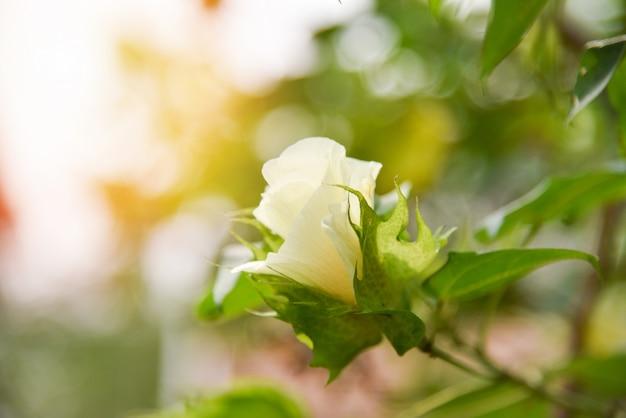 Bawełniany kwiat na drzewie w polu bawełny