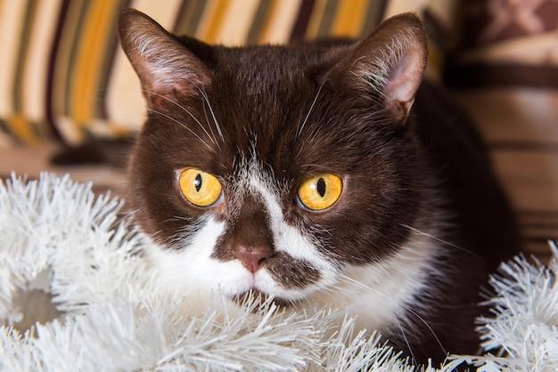 Bawi się zabawny brytyjski kot w kolorze czekolady