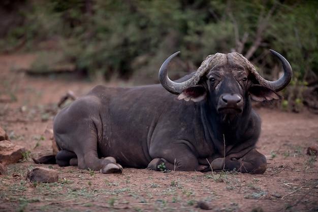 Bawół afrykański odpoczywa na ziemi