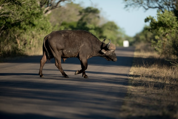 Bawół afrykański przez jezdnię z rozmytym tłem