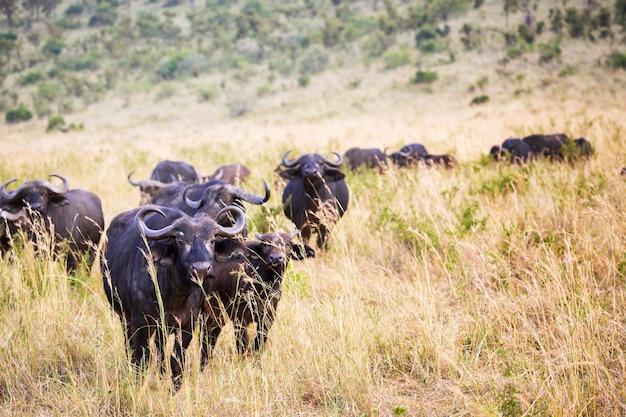 Bawół afrykański w parku narodowym masai mara w kenii