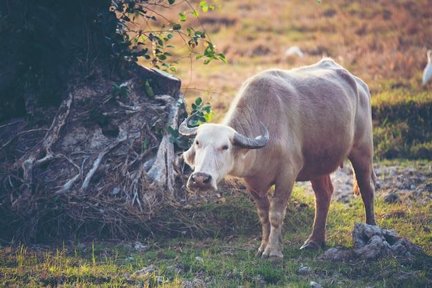 Bawół albinos, azjatycki bawół wodny na polu ryżowym
