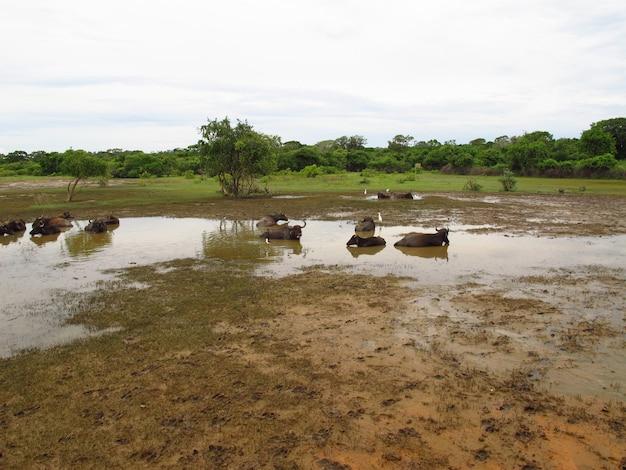 Bawół na safari w parku narodowym yala na sri lance
