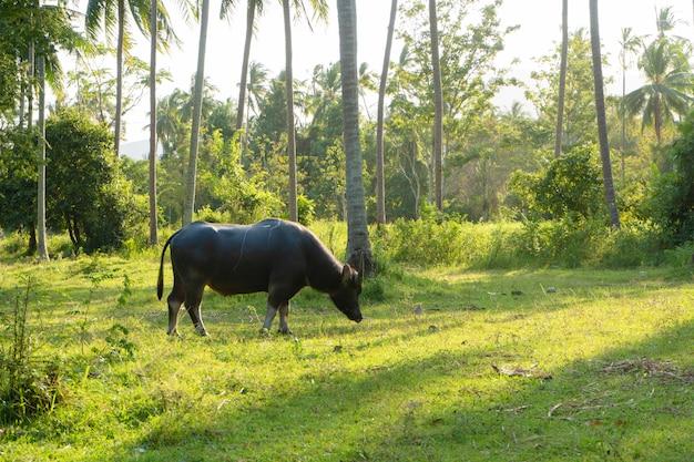 Bawół z dużymi rogami pasie się na trawniku w zielonej tropikalnej dżungli.