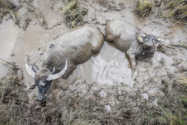 Bawoli tajlandzki moczący w bagnie - wodny bizon w borowinowym stawie przy rolnego rolnictwa bydlęcymi zwierzętami azja, odgórny widok