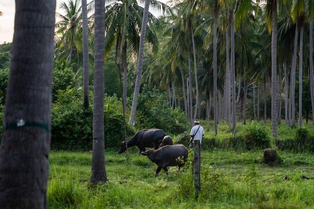 Bawoły z dużymi rogami pasące się na trawniku