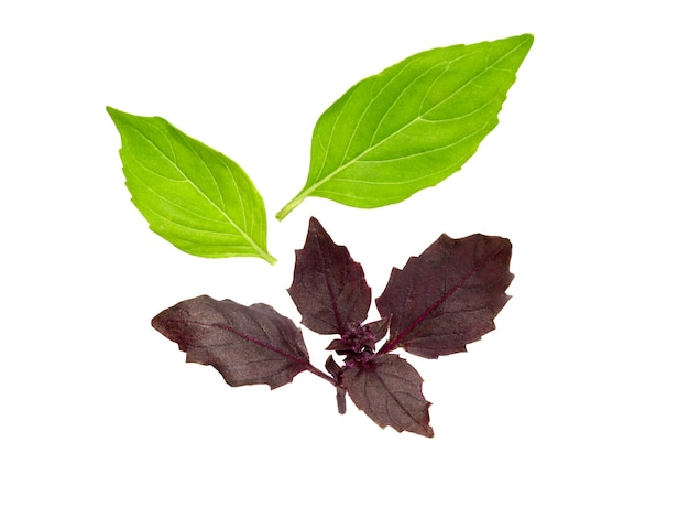 Bazylia na białym tle. liść bazylii. świeże liście bazylii.