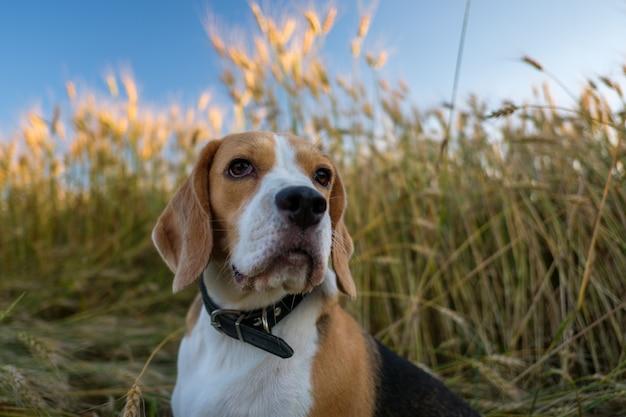 Beagle czystej krwi na spacer latem wśród dojrzałej pszenicy złotej