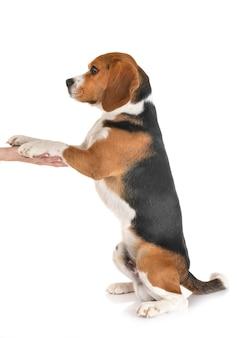 Beagle na białym tle