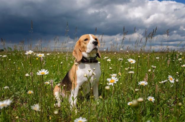 Beagle pies siedzi na łące ze stokrotkami w słoneczny letni dzień