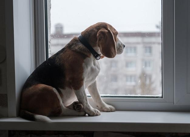 Beagle pies siedzi na parapecie i patrzy na śnieg za oknem