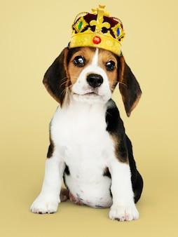 Beagle szczeniak jest ubranym koronę