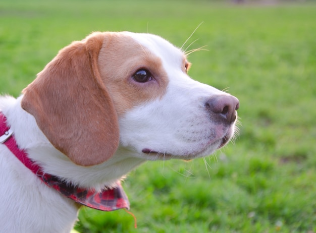 Beagle szczeniak na tle zielonej trawy