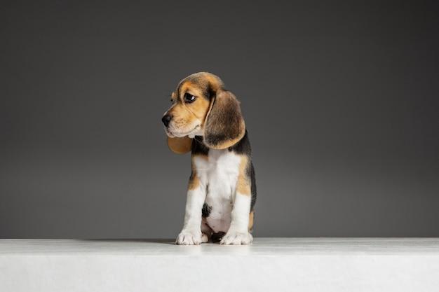 Beagle tricolor szczeniak pozuje. śliczny biało-brązowo-czarny piesek lub zwierzak bawi się na szarej ścianie. wygląda na uważnego i zabawnego. pojęcie ruchu, ruchu, działania. negatywna przestrzeń.
