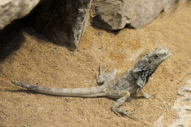 Bearded dragon, pogona vitticeps