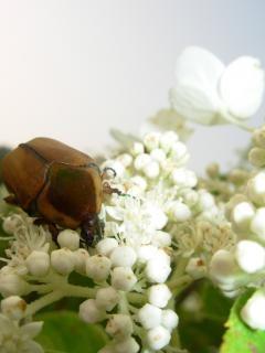 Beatle jedzenia kwiat