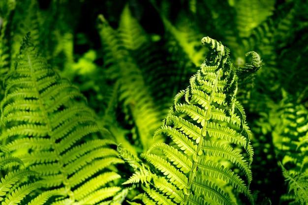 Beautyful paprocie pozostawia zielonych liści naturalny kwiatowy paproci tło w słońcu.