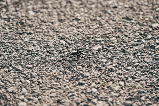 Beetle wąsy cerambycidae na fakturze asfaltu