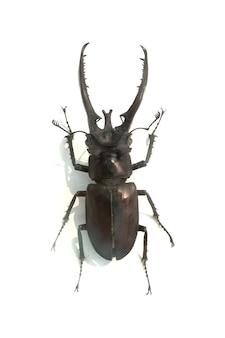 Beetle z długimi rogami kolczastych