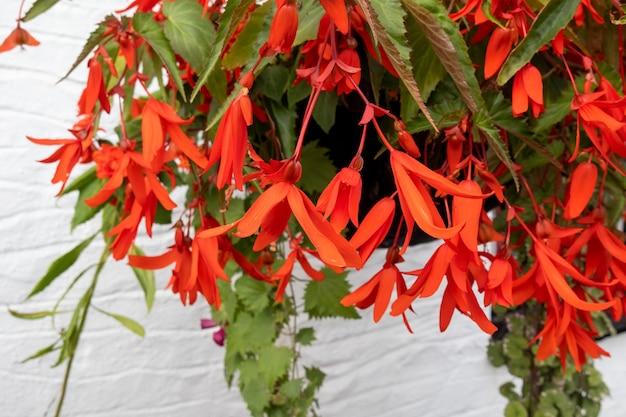 Begonia bonfire (begonia boliviensis) kwitnąca w ogrodzie w berrynarbor