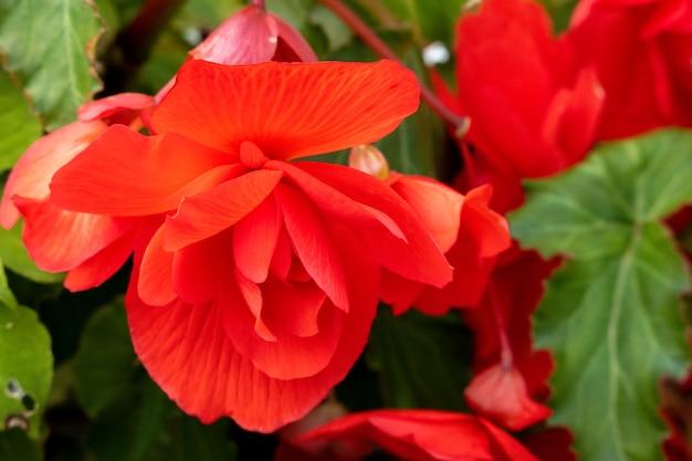 Begonia czerwona (begonia evansiana andrews) rosnąca w ogrodzie w berrynarbor
