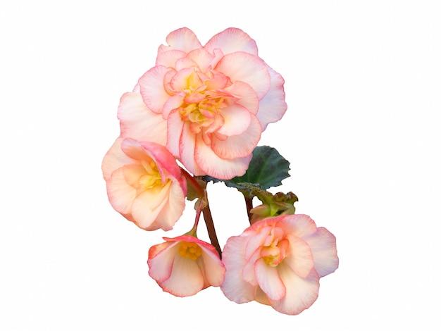 Begonia delikatny różowy kwiat izolat na białym tle.