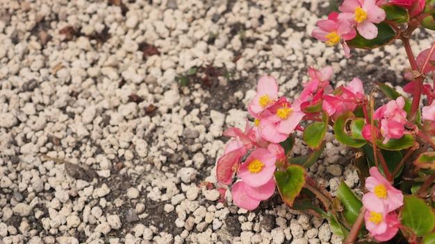 Begonia kwitnie latem na hokkaido w japonii.