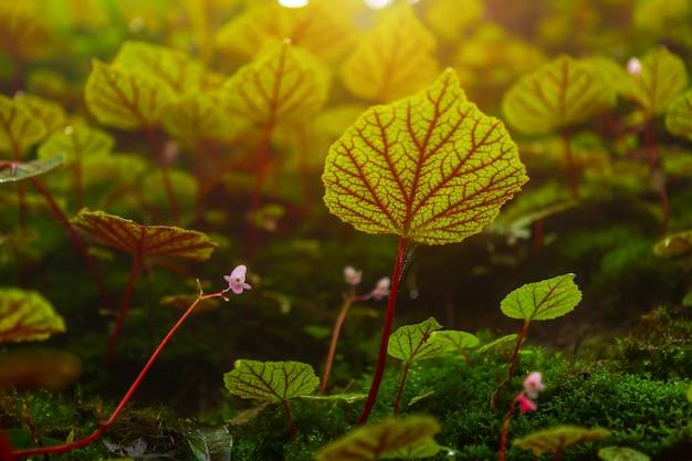 Begonia leafs na skale w lasach płytka głębia las tropikalny przy phuhinrongkla parka narodowego nakhon tajlandzkim okręgiem w phitsanulok, tajlandia.