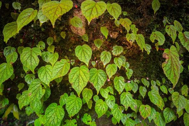 Begonia na kamieniu w sezonie wiosennym