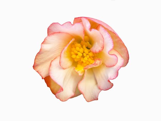 Begonia piękny różowy kwiat izolat na białym tle.