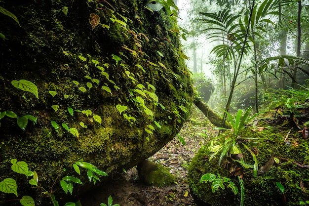 Begonia pozostawia na skale w lesie