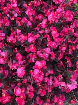 Begonia wiecznie kwitnąca ogrodowa różowa.