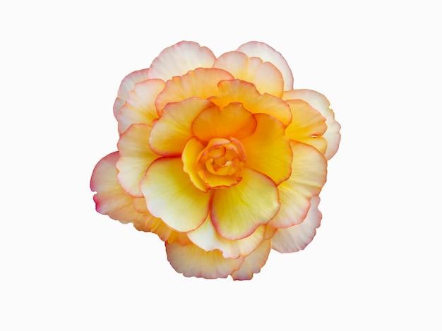 Begonia żółty kwiat izolat na białym tle.