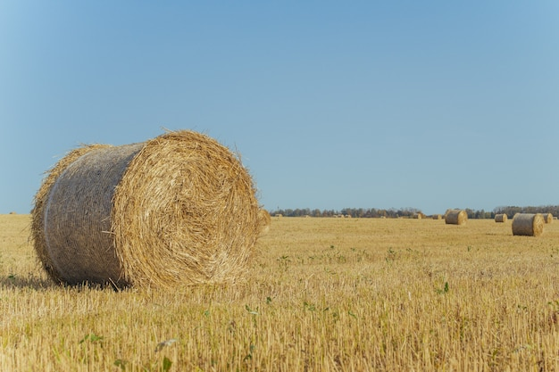 Bele siana na farmie z letnim błękitnym niebem.