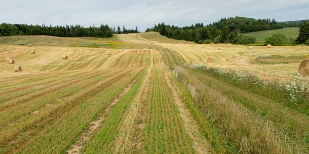 Bele siana na polu, kensington, wyspa księcia edwarda, kanada