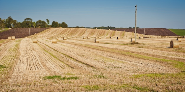 Bele siana na polu siana. krajobraz rolniczy.