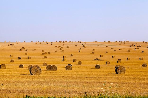 Bele słomy ułożone w stos podczas zbioru zbóż