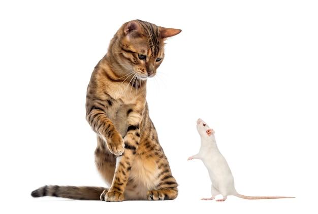 Bengal patrzy w dół i łapie szczura