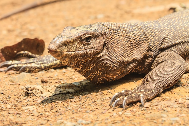 Bengalia Monitor Jaszczurka W Lesie Premium Zdjęcia