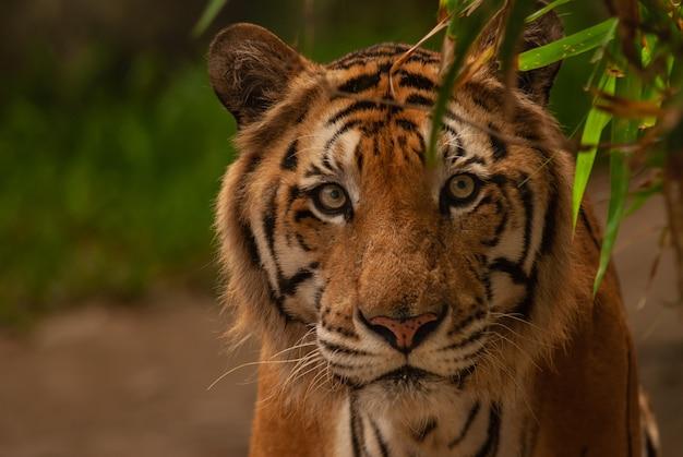 Bengalia tygrys patrzeje kamera (panthera tigris tigris).