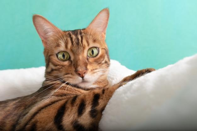 Bengalski kot domowy odpoczywa w legowisku po zabawie