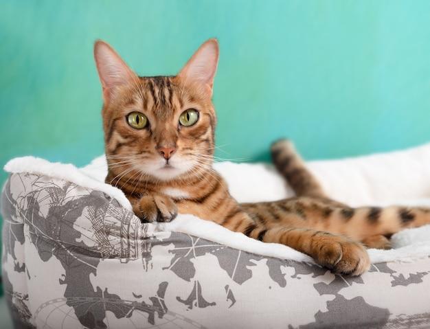 Bengalski kot domowy relaks na białym łóżku w domu