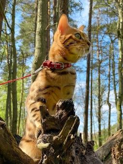 Bengalski Kot Domowy Siedzi Na Piance W Lesie Premium Zdjęcia