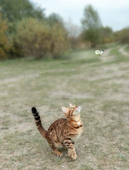 Bengalski kotek domowy poluje na motyla w parku.