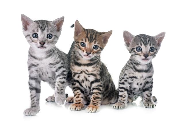 Bengalski kotek w studio