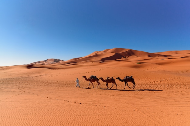 Berber człowiek wiodący karawanę wielbłądów na saharze
