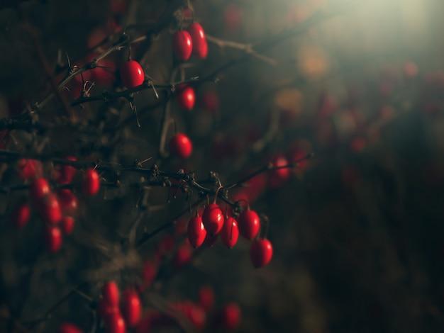 Berberys na gałęzi