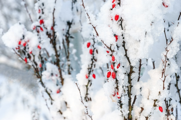 Berberysowe czerwone jagody rozgałęziają się pod śniegiem