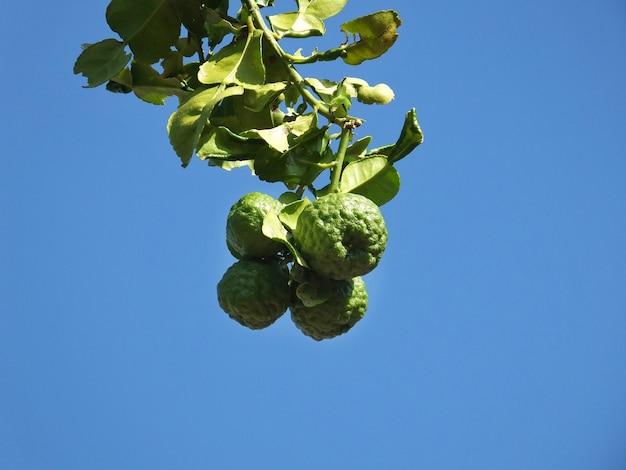 Bergamota i liścia zbliżenie na niebieskiego nieba tle